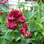 Spring Flowers in Siskiyou Massage gardens